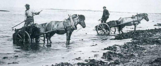 Seaweed collectors, approximately 1900