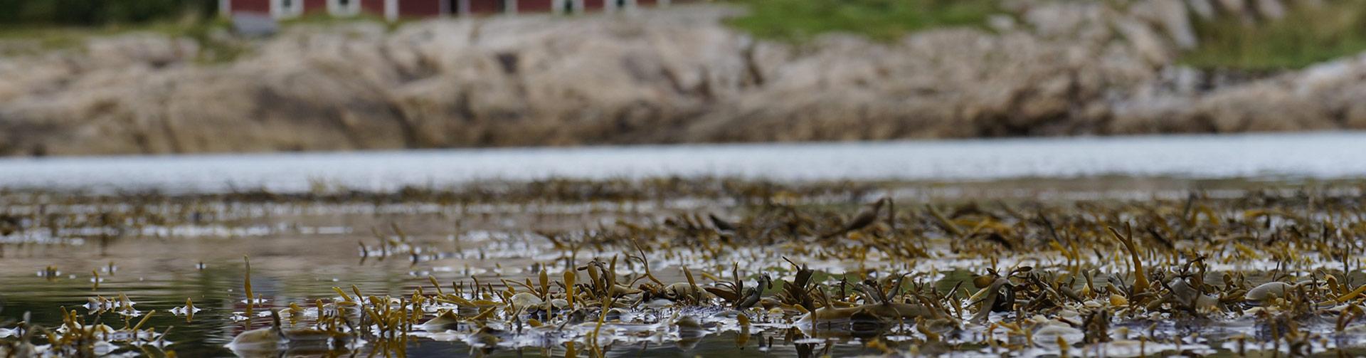 Algea collects and processes algae like Ascophyllum nodosum